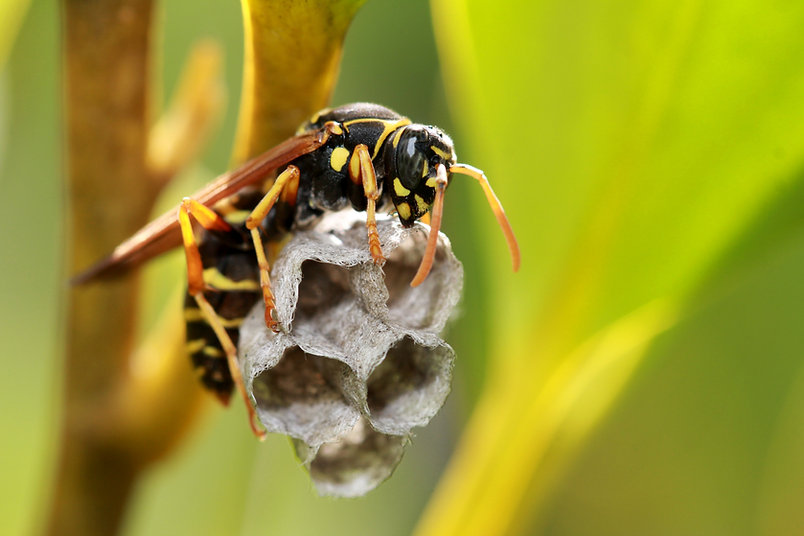 Herefordshire Wast Guys Wasp Nest Removal Hereford