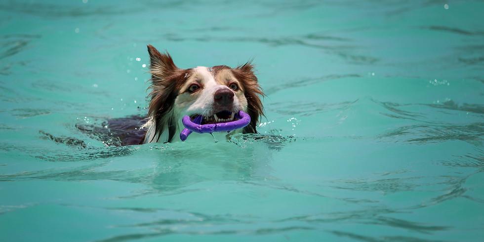 Dog Swim at the Marysville pool