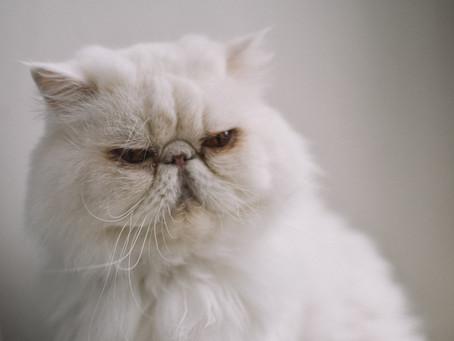 Berbagai Jenis Kucing Imut dan Lucu Untuk Jadi Hewan Peliharaan