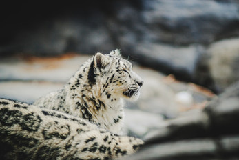Protect the Snow Leopards