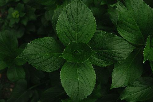 Lemongrass Mint