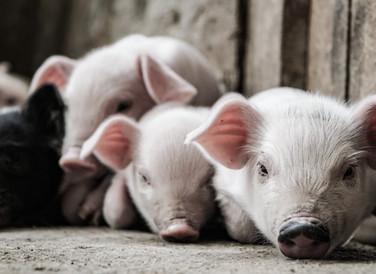 Monitoring pig production using learning-based machine vision