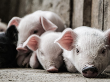 Monitoring pig production using learning-based machine vision