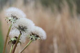 Les plantes aromatiques et médicinale de a Maldèr