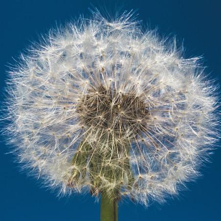 Healthy Life: Dandelions