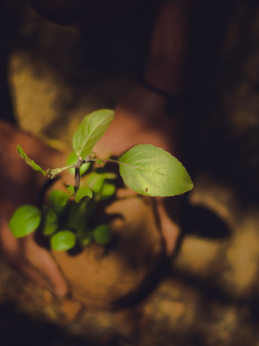 TREE PLANTING (MANGROVE) - NIGERIA (NIGER DELTA)