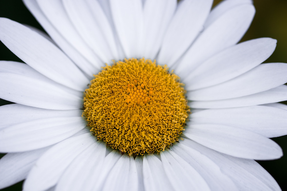 Close up of a white daisy with bright yellow centre.