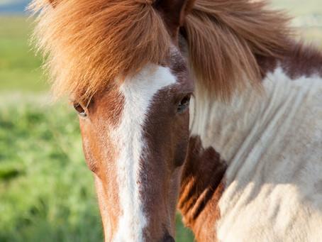 Equine Sunburn