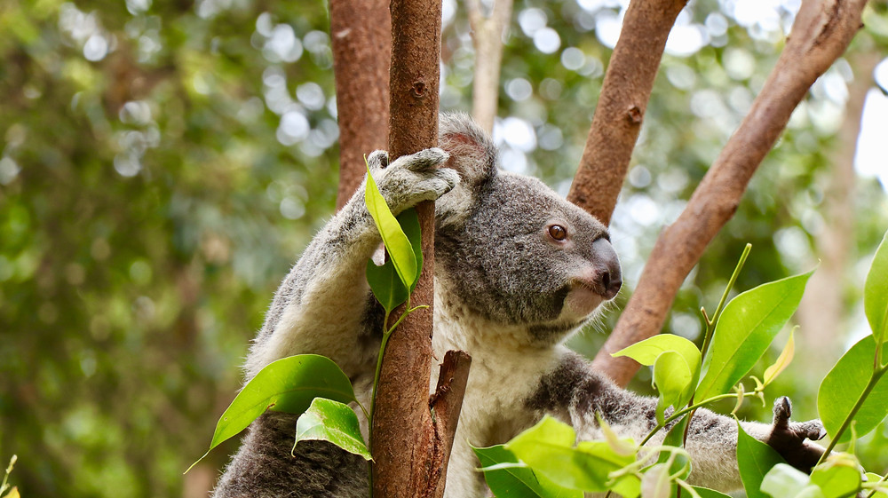 Eucalyptus trees and eucalyptol terpenes