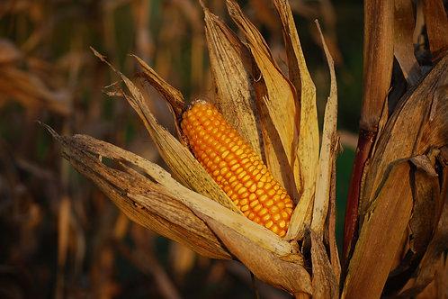 Corn (Toplining Track)