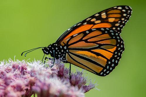 Monarch plant kits