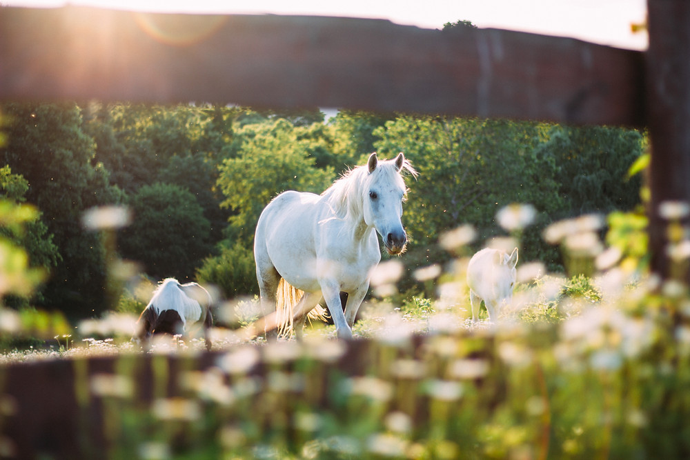 white horse walking in green field with sunlight