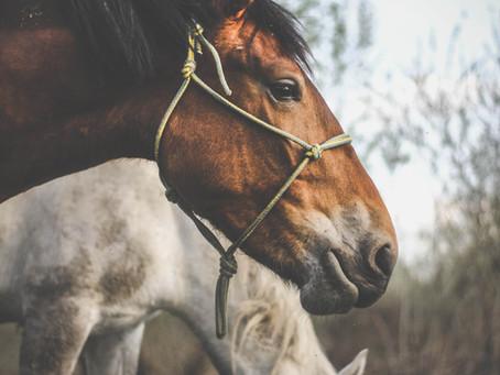 Efectos de tener un compañero calmado en caballos miedosos