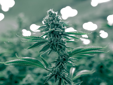 The Cannabis Plant: The Difference Between Hemp And Marijuana