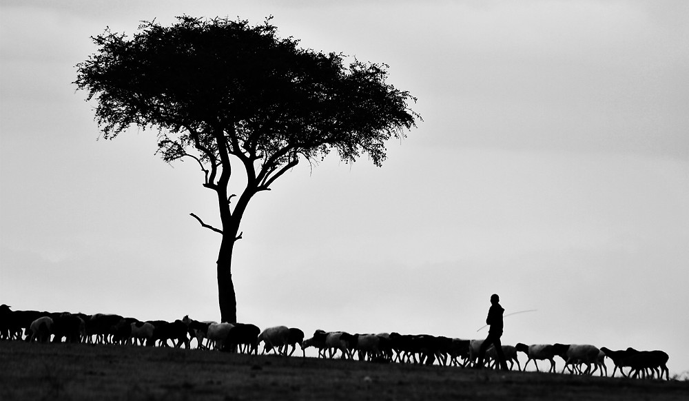 The silhouette of a shepherd walking with a herd of sheep past a lone tree