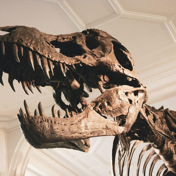 The chicken is the closest relative to the Tyrannosaurus Rex.