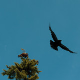 Noah sent out a raven.