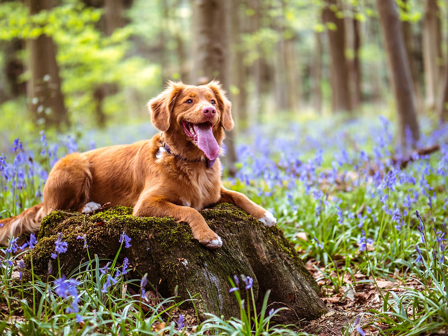 toller sitting in a field of blue flowers