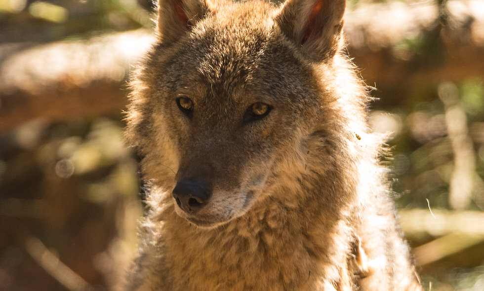 Coyotes Can Count