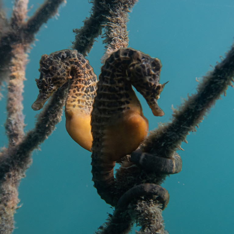 Research, conservation and protection of the UK's Seahorse Species