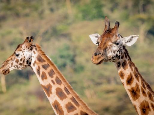 Roer's Zoofari reopens after barn fire kills giraffes; fundraises for new giraffe barn
