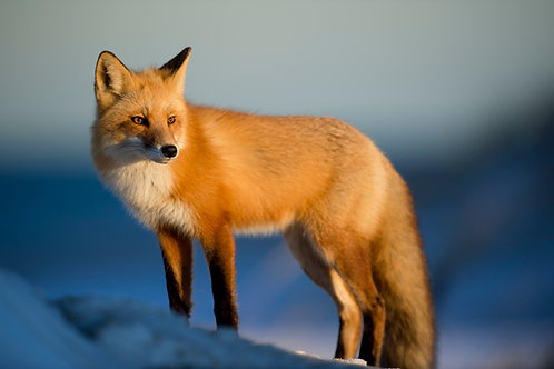 Foxes PowerPoint: Habitat, Prey, and Behaviors