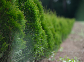 Hedge Trimming Services Poole