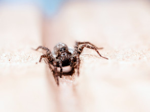 What Phoenix Property Owners Ought To Know About Wolf Spiders