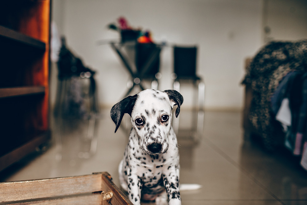 Dalmatian dog breed comes from Croatia, and can get moody in case of jugo wind