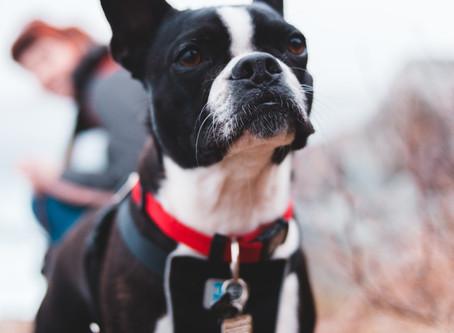 Dossier uitvallende honden: Type 3 het bescherm(b)engeltje