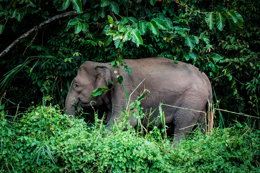 pygmy elephant kinabatangan river