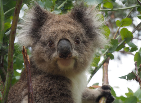 The Daylight Saving Time Debate Rages On: Can We Save Koalas By Changing Our Clocks?