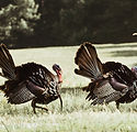 Kansas Guided Turkey Hunts