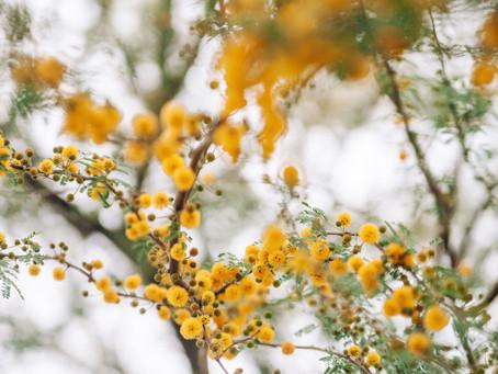 Mimoza Mevsimi: Bugün Mimozaları Hayatınıza Katmanız İçin 5 Farklı Öneri