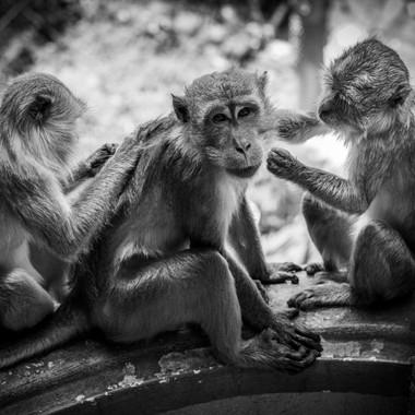 Macaque legislation