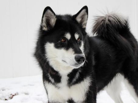 Ciri Fisik Dan Tips Merawat Anjing Alaskan Malamute yang Gagah