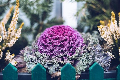 """Flowering Kale Red 3.5"""" pot"""