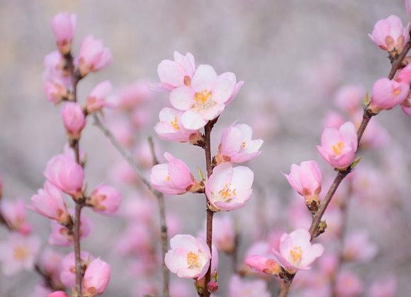 Cherry Almond Sugar Scrub