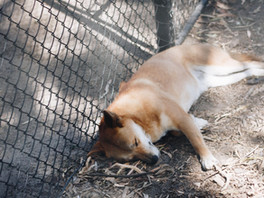 THE AUSTRALIAN DINGO - PET OR PEST?