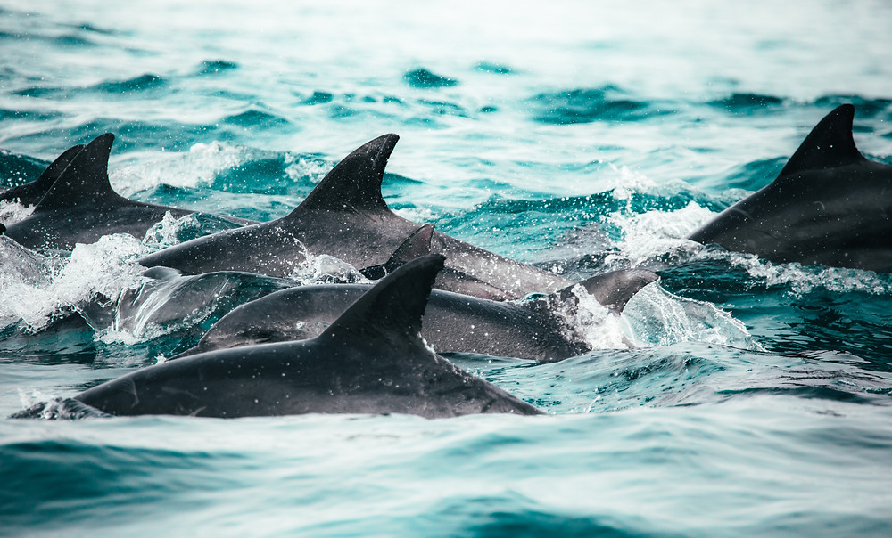 Dolphins in Walvis Bay in Namibia