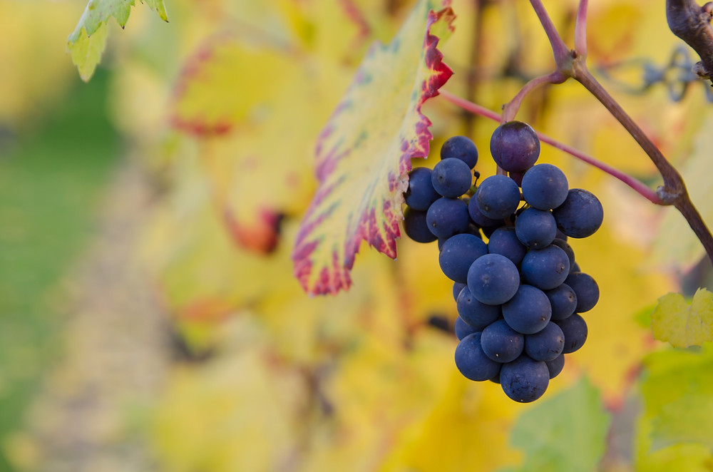 Weinrebe mit Trauben im Herbst.