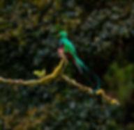 Quetzal, San Gerardo de Dota