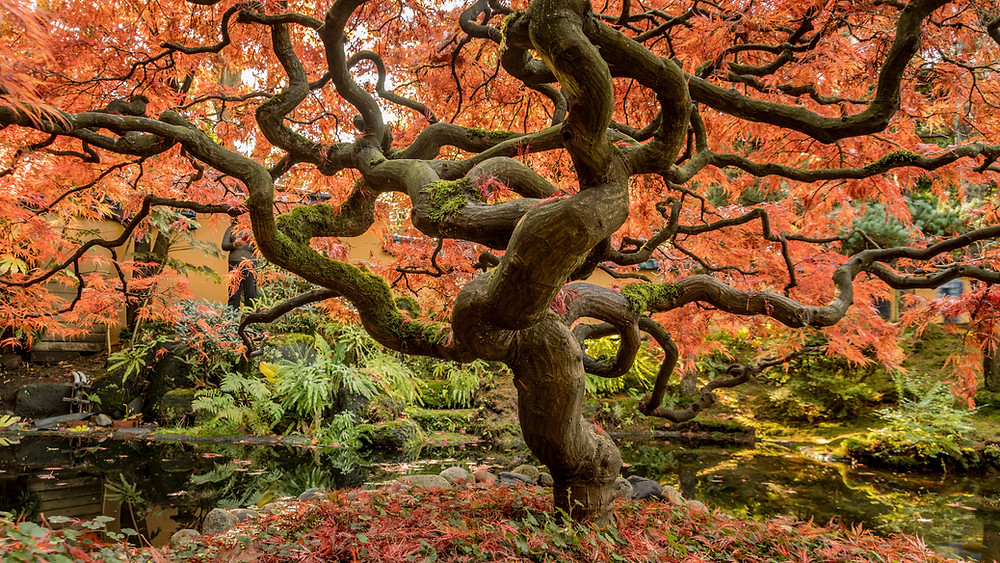 Autumn Japanese tree with dark twisting limbs by a pool.