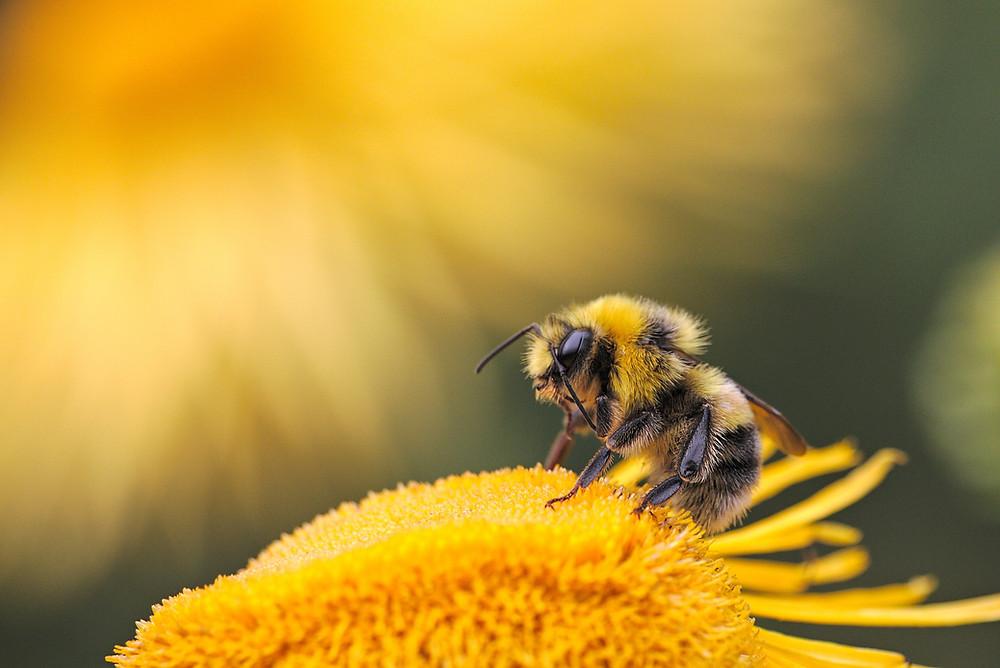 bite vāc ziedputekšņus