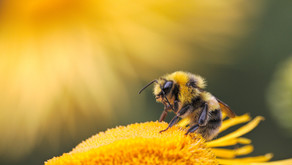 The Honey Bees are Going Viral; but it's Not the Bees Knees