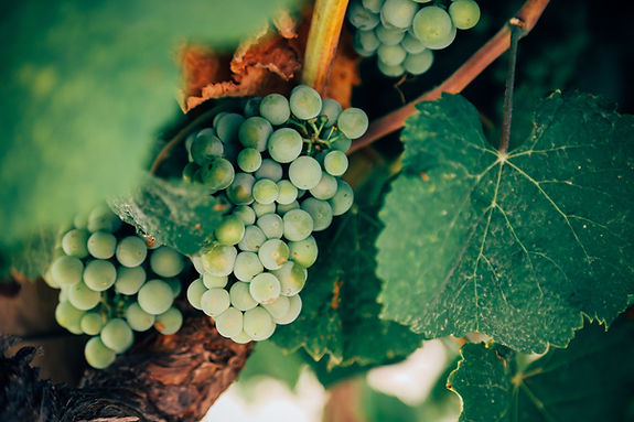 Grapes. Image by Thomas Verbruggen