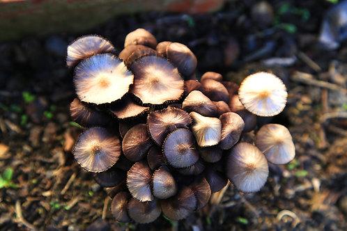 Shiitake (lentinula edodes)
