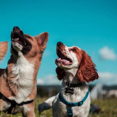 Een tweede hond zonder schuldgevoel: Test of jouw hond er klaar voor is.
