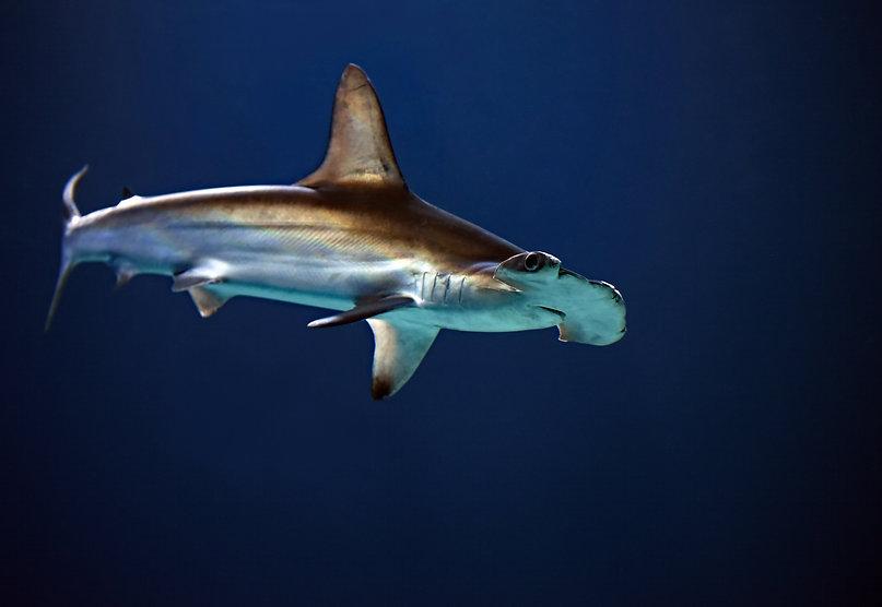 Hammerhead shark - Aloha Divers Okinawa - Image by David Clode