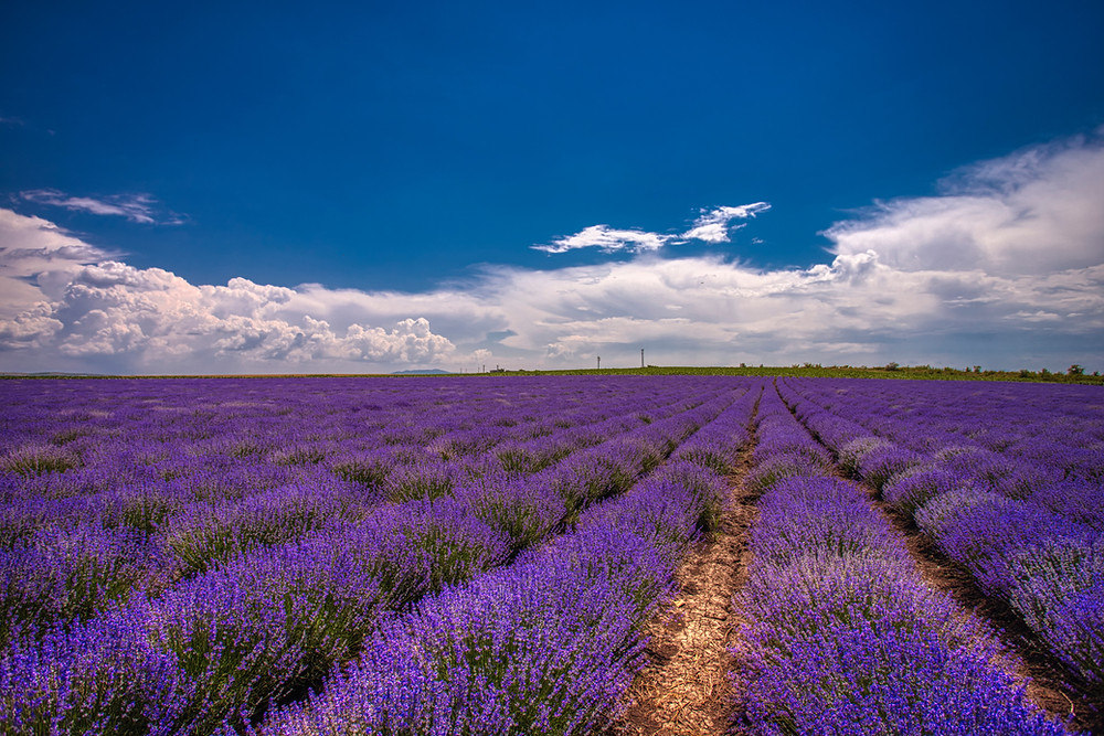 Linalyl Acetate terpenes are found in Lavender